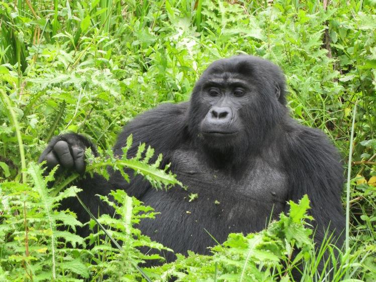 Bwindi Mountain Gorilla- ED