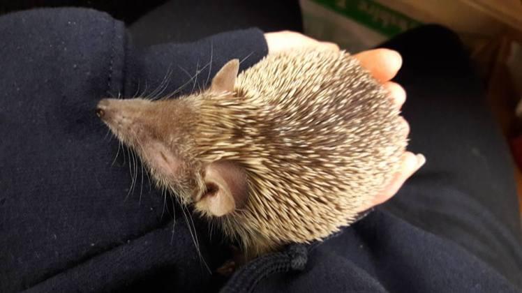 Hedgehog-Lindsay