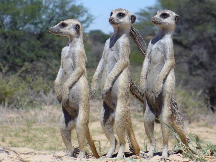 Meerkats-ED