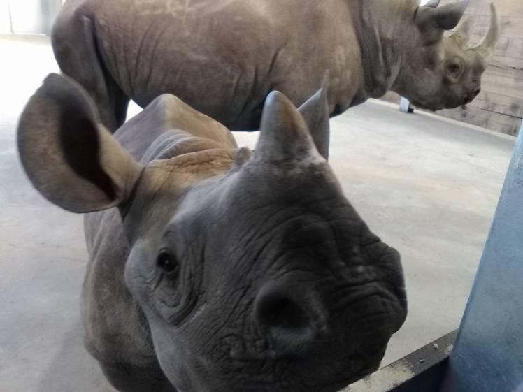 Rhino-Lindsay